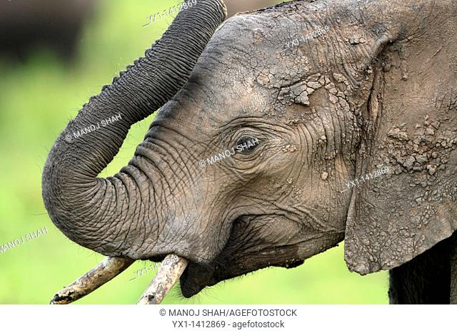 Thy trunk of the elephant is a very flexible elongated nose adapted to be used as a 'hand', with an excellent sense of smell