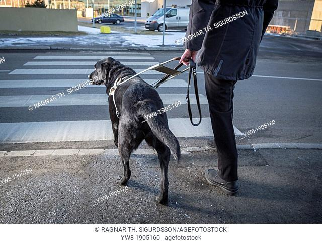 Black Labrador Retriever leading a blind person across the street  Young male guide dog