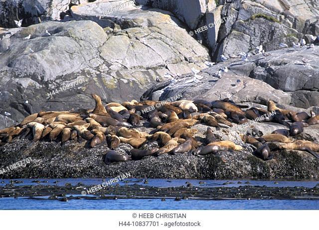 Canada, North America, America, Sea lions, Gwaii Haanas, national park, Queen Charlotte Islands, British Columbia, Ota