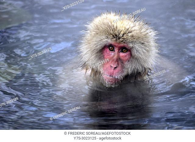 Japanese Macaque snow monkey at Jigokudani Monkey Park near Nagano,Honshu,Japan,Asia