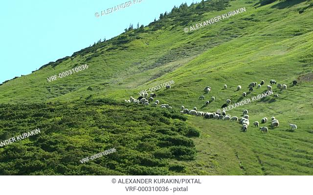 Herd of sheep rises to a mountain slope covered with green juicy grass, wide shot