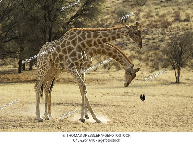 Southern Giraffe (Giraffa giraffa). Fighting males in the dry Auob riverbed. The startled bird is a Fork-tailed Drongo (Dicrurus adsimilis)