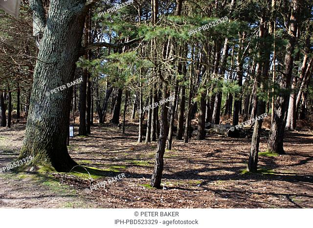 England Dorset Poole Interior view of Brownsea Island in whose woodlands Red Squirrels are often seen Peter Baker