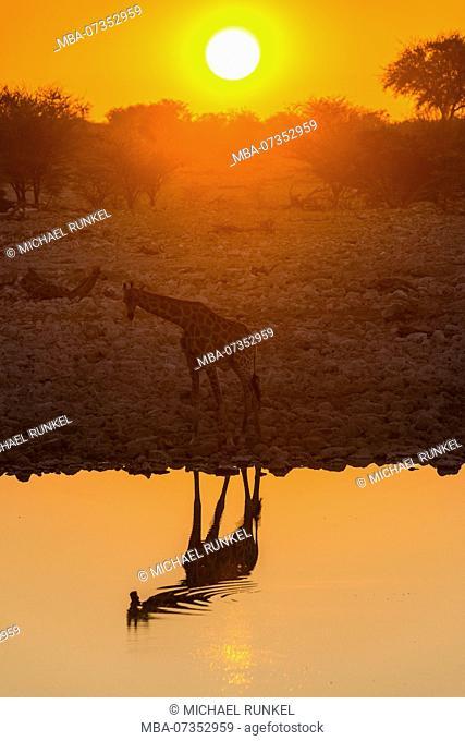 Giraffe reflecting in the water of a waterhole, Okaukuejo Rest Camp , Etosha National Park, Namibia
