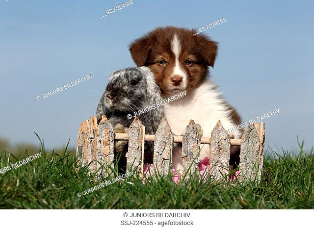 Australian Shepherd and Dwarf Rabbit. Puppy and Mini Lop sitting in a basket in a garden. Germany
