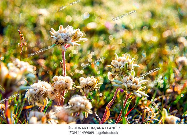 Edelweiss flower blossoming in the mountains and sunlight in the back