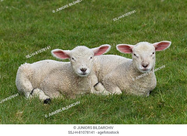 Domestic Sheep. Two lambs lying on a meadow. Germany