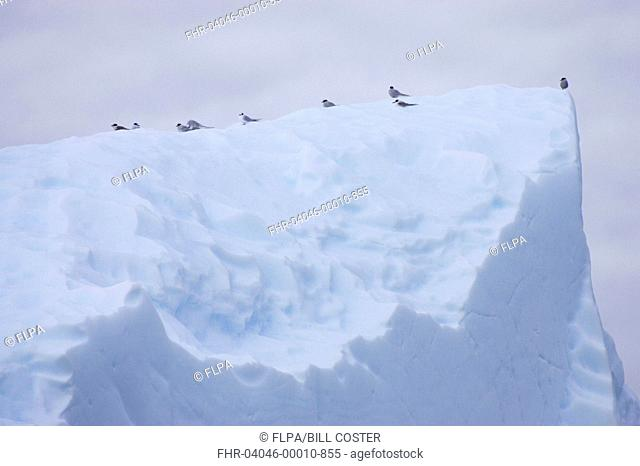 Antarctic Tern Sterna vittata adults and juveniles, flock resting on iceberg, Lemaire Channel, Antarctic Peninsula, Antarctica