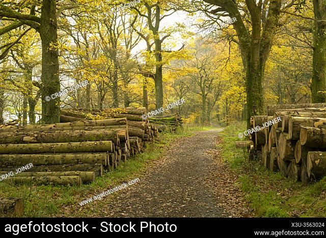 A path though Holme Wood in Autumn on the shore of Loweswater in the Lake District National Park, Cumbria, England