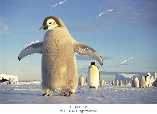 EMPEROR PENGUIN (Aptenodytes forsteri),  LARGE CHICK ON FAST ICE, MIDNIGHT SUN IN  AUSTRAL SPRING, NO-NAME ROOKERY, PRINCESS  MARTHA COAST, WEDDELL SEA