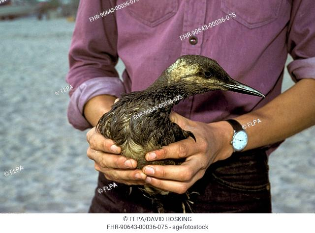Person holding oiled Common Guillemot Uria aalge in hands, England