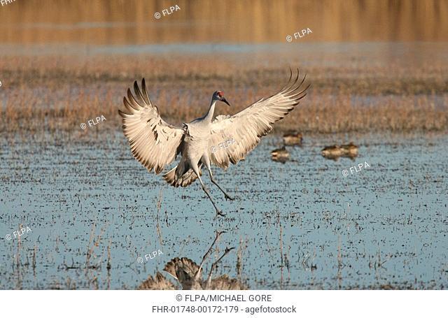 Sandhill Crane Grus canadensis adult, landing in water, Bosque del Apache, New Mexico, U S A