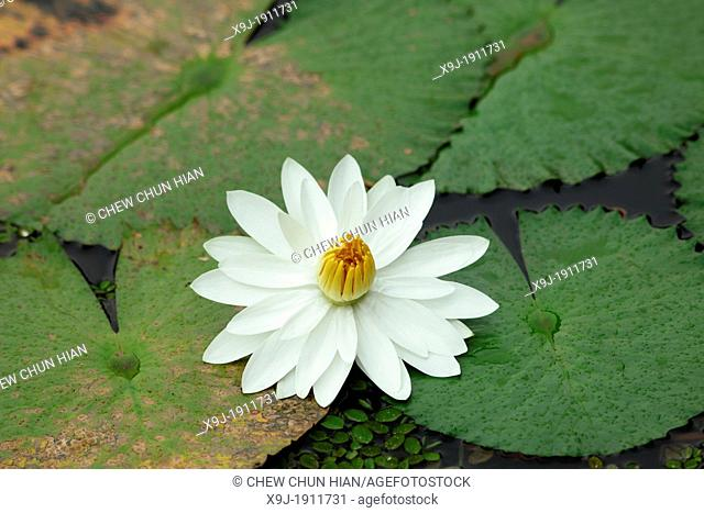 Tropical flower, Water lily