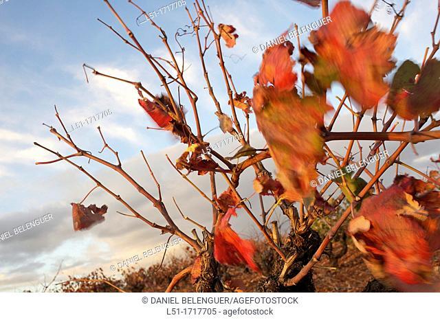 Vineyard in autumn, Requena, Valencia, Spain