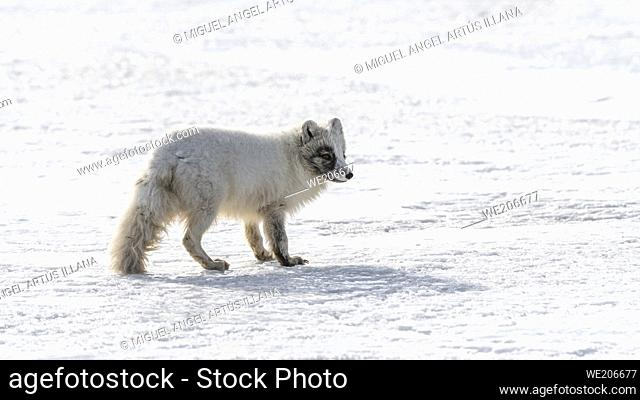 A white arctic fox, Alopex lagopus, walks on the ice outside the town of Longyearbyen in svalbard-Norway, without people