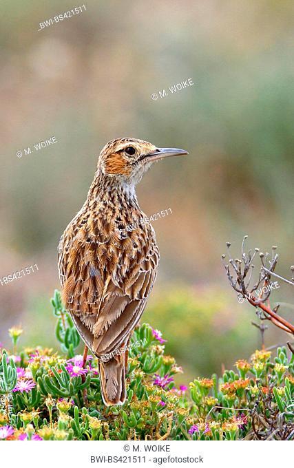 Spike-heeled lark (Chersomanes albofasciata), stands on a plant , South Africa, Eastern Cape, Camdeboo National Park