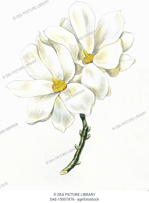 Botany - Magnoliaceae - Flowers of Yulan magnolia (Magnolia denudata), illustration
