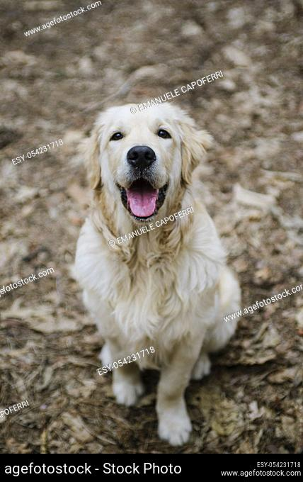 portrait of dog golden retriever in the woods