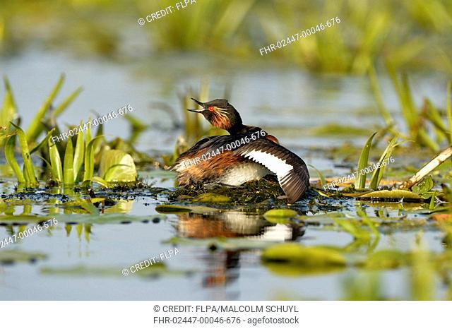 Black-necked Grebe (Podiceps nigricollis nigricollis) adult, breeding plumage, calling to mate, with wing stretched, sitting on nest, Danube Delta, Tulcea