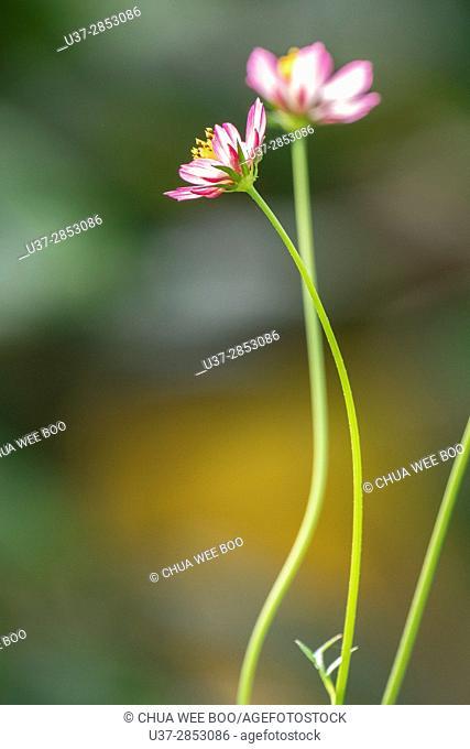 Flowers. Badul homestay, Sarawak, Malaysia
