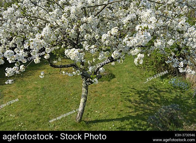 Cerisier en fleur, Departement d'Eure-et-Loir, Region Centre-Val-de-Loire, France, Europe/ Flowering cherry tree, Eure-et-Loir department