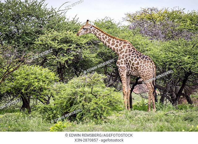 Angolan giraffes grazing in Etosha National Park, located in Namibia, Africa
