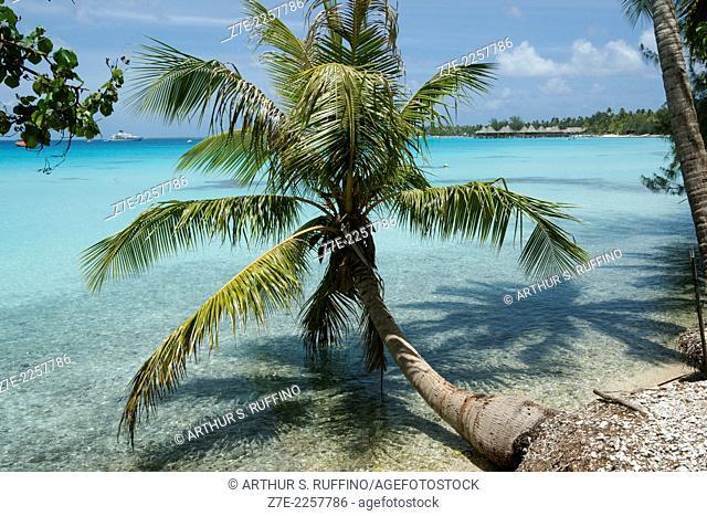 Palm tree extending into the Rangiroa lagoon, Tuamotu Archipelago, French Polynesia