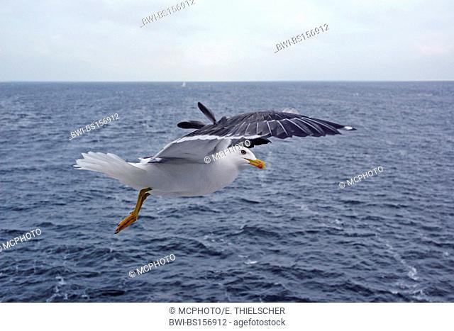 lesser black-backed gull (Larus fuscus), flying, Netherlands, Texel