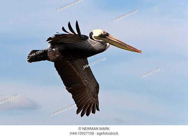 white, pelican, pelecanus erythrorhynchos, Rockport, Texas, USA, America, United States, flying