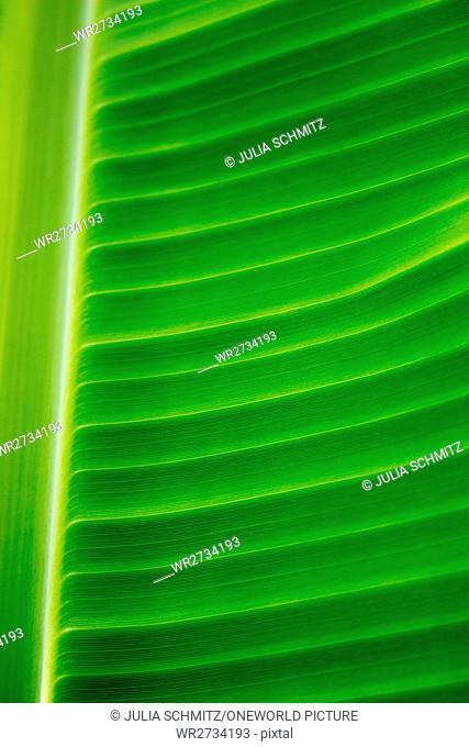 Tanzania, Zanzibar, Pemba Island, close-up of a banana tree leaf, banana plantation