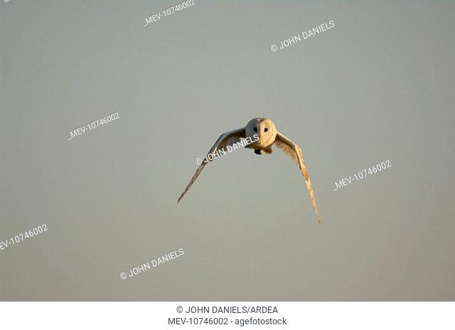 Bird - Barn owl flying (Tyto Alba)