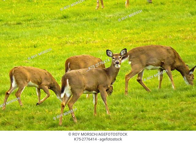 White-tailed deer, Odocoileus virginianus