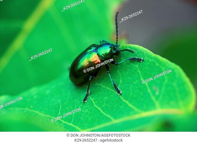 Dogbane leaf beetle (Chrysochus auratus), Greater Sudbury (Lively), Ontario, Canada