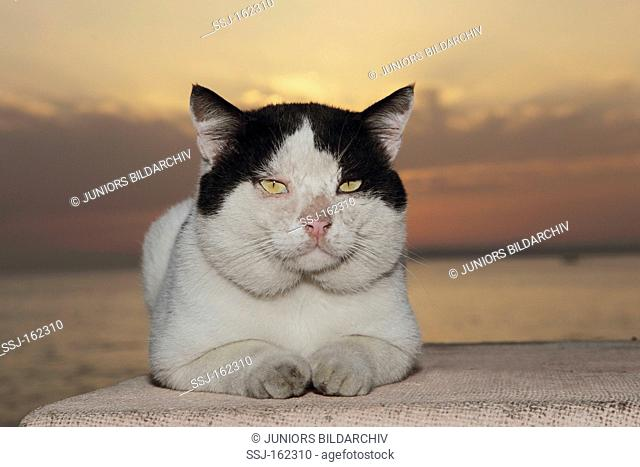 domestic cat - lying on wall - sunset