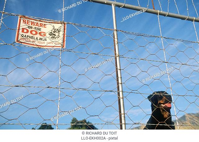 Rottweiler Looking Through Fence  Tulbach, Western Cape Province, South Africa