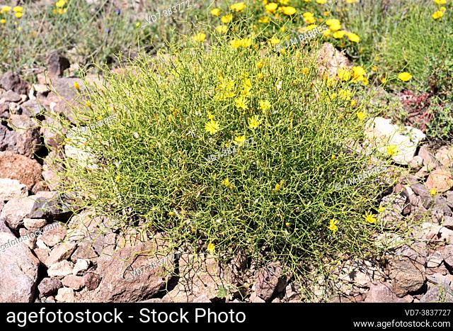 Pendeja (Launaea lanifera) is a spiny shrub native to southeastern Spain and northwestern Africa. This photo was taken in Cabo de Gata Natural Park, Almeria