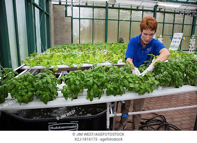West Bloomfield, Michigan - Resident farmer at Henry Ford West Bloomfield Hospital, tends plants in the hospital's greenhouse  The organic produce is grown...