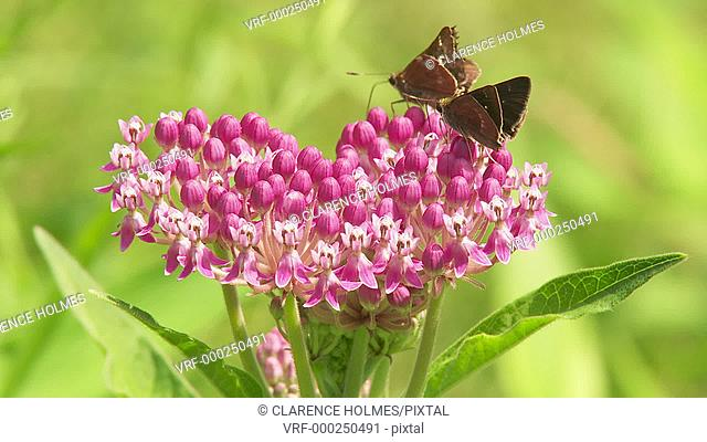 Little Glassywing (Pompeius verna) skippers feed on a Swamp Milkweed flower inflorescence on a bright summer day