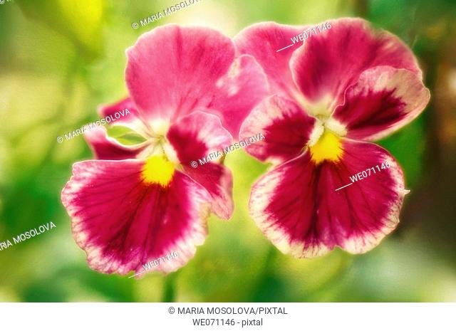 Two Pansies. Viola x wittrockiana. July 2006, Maryland, USA