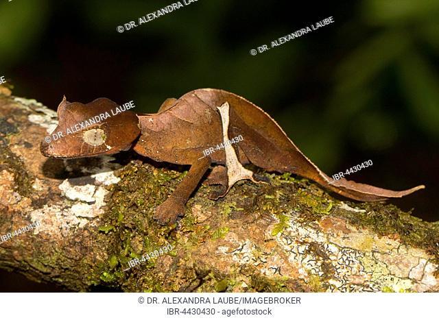 Rare Uroplatus (Uroplatus finiavana) on branch, female, in the rainforest of Montagne d'Ambre, northern Madagascar, Madagascar, Africa, Indian Ocean