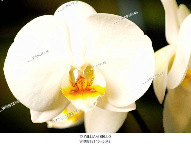 Phalaenopsis cultivares