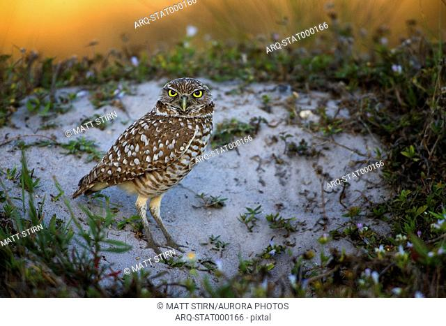 Male burrowing owl staring at camera near his burrow at sunrise, Cape Coral, Florida, USA