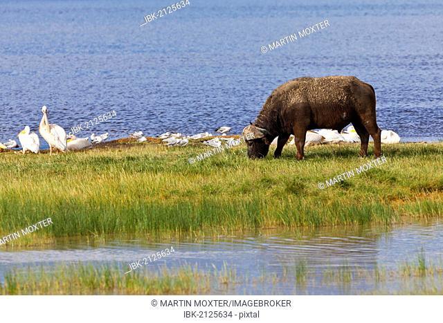 African Buffalo (Syncerus caffer) and White Pelicans (Pelecanus onocrotalus), Lake Nakuru National Park, Kenya, East Africa, Africa, PublicGround