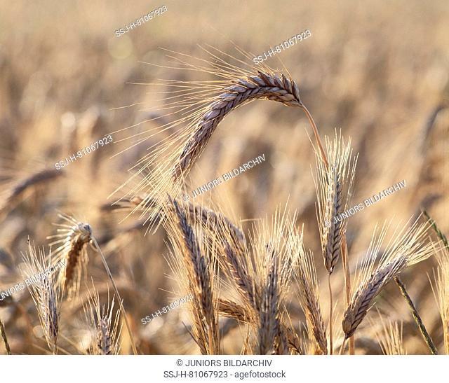 Wheat (Triticum aestivum). Ripe wheat ears in a field. Germany