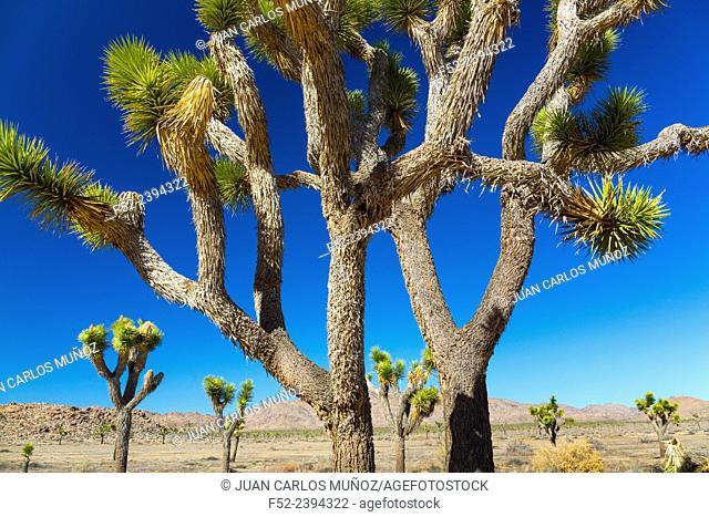 Yucca brevifolia, the Joshua tree, Joshua Tree National Park, California, USA