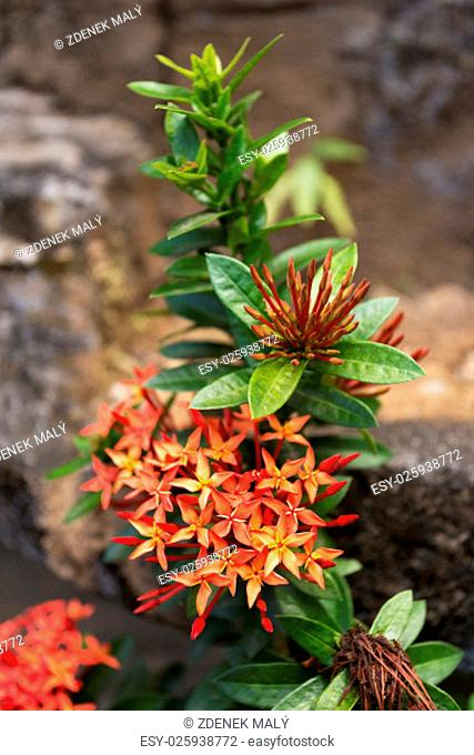 Ixora is a genus of flowering plants in the Rubiaceae family. Bali, Indonesia, wild flower