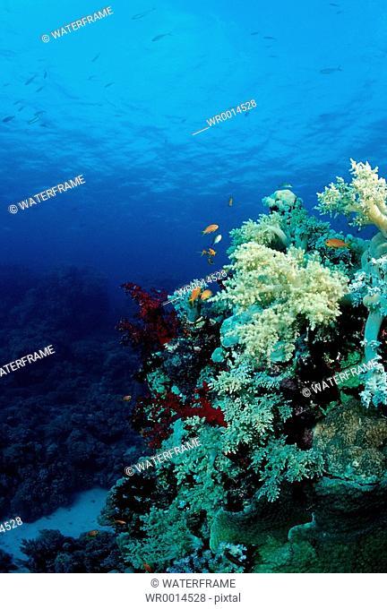 Soft Coral Reef, Red Sea, Sudan