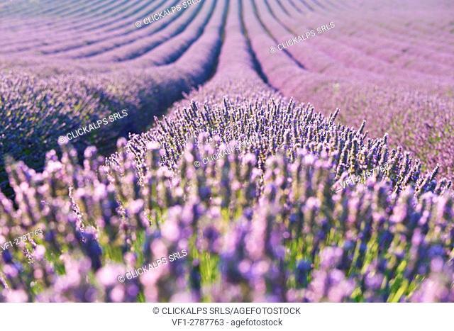 Europe, France,Provence Alpes Cote d'Azur,Plateau de Valensole. Lavender Rows