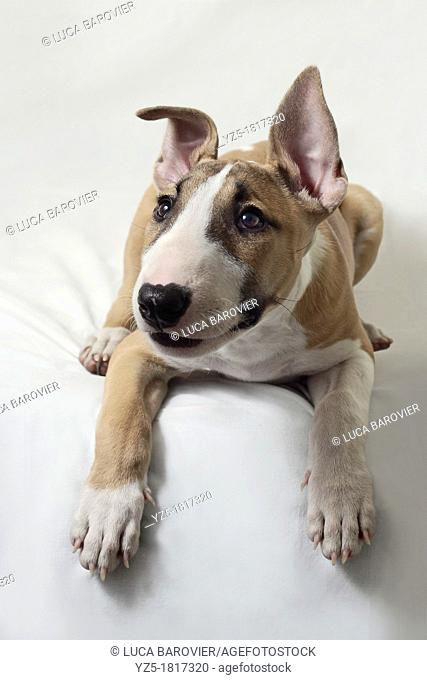 Puppy Bull Terrier on white background - Milan, italy
