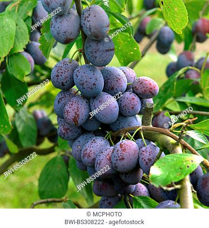 European plum (Prunus domestica 'Hanita', Prunus domestica Hanita), plums on a tree, cultivar Hanita